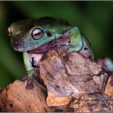 Tree frog for web site