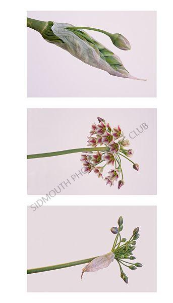 3rd-Allium 'Nectaroscordum Siculum'-Mary Gebauer