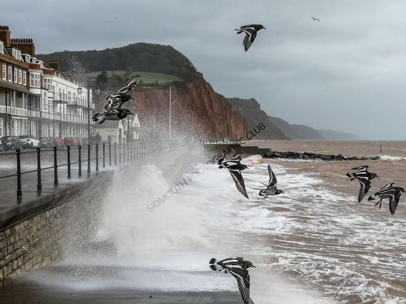 1st-Turnstones flying in storm Dennis-Tony Velterop