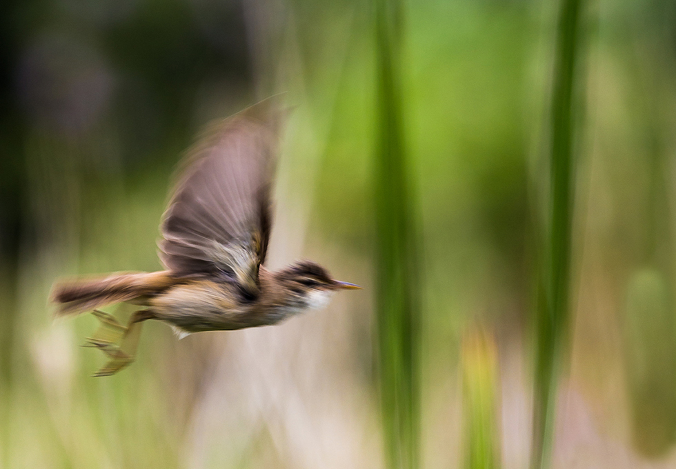 Commended-Warbler in flight-Keith Ridings