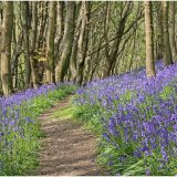 Bluebell Wood at Salcombe Hill