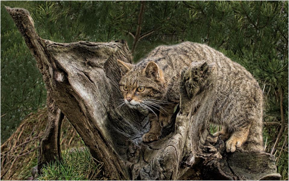2nd-Scottish Wildcat-Bob Reynolds
