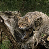 2nd-Scottish Wildcat-Bob Reynolds