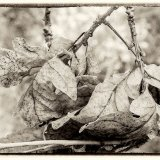 Sepia Leaves