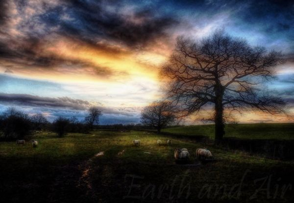 Late evening sheep
