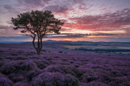 Heather and Pine Tree at Sunset
