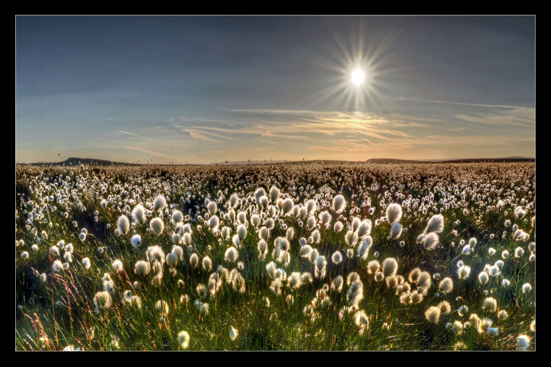 Cotton Grass in the Sunset
