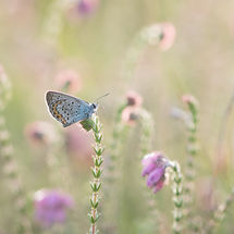 Silverstudded blue in twofold