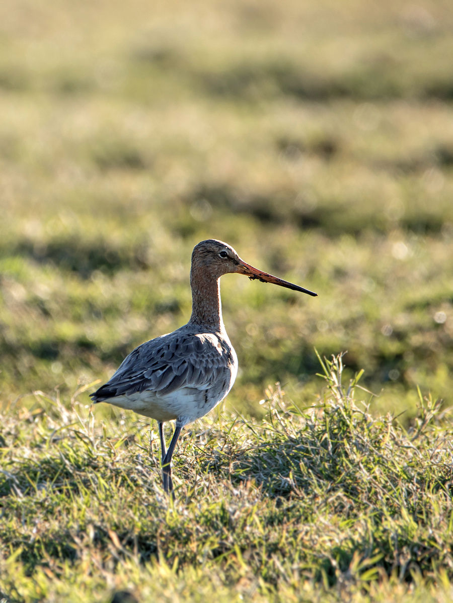Grutto (limosa limosa) female
