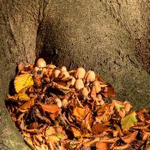 Inktzwammetjes knusjes aan de voet van een oude beuk