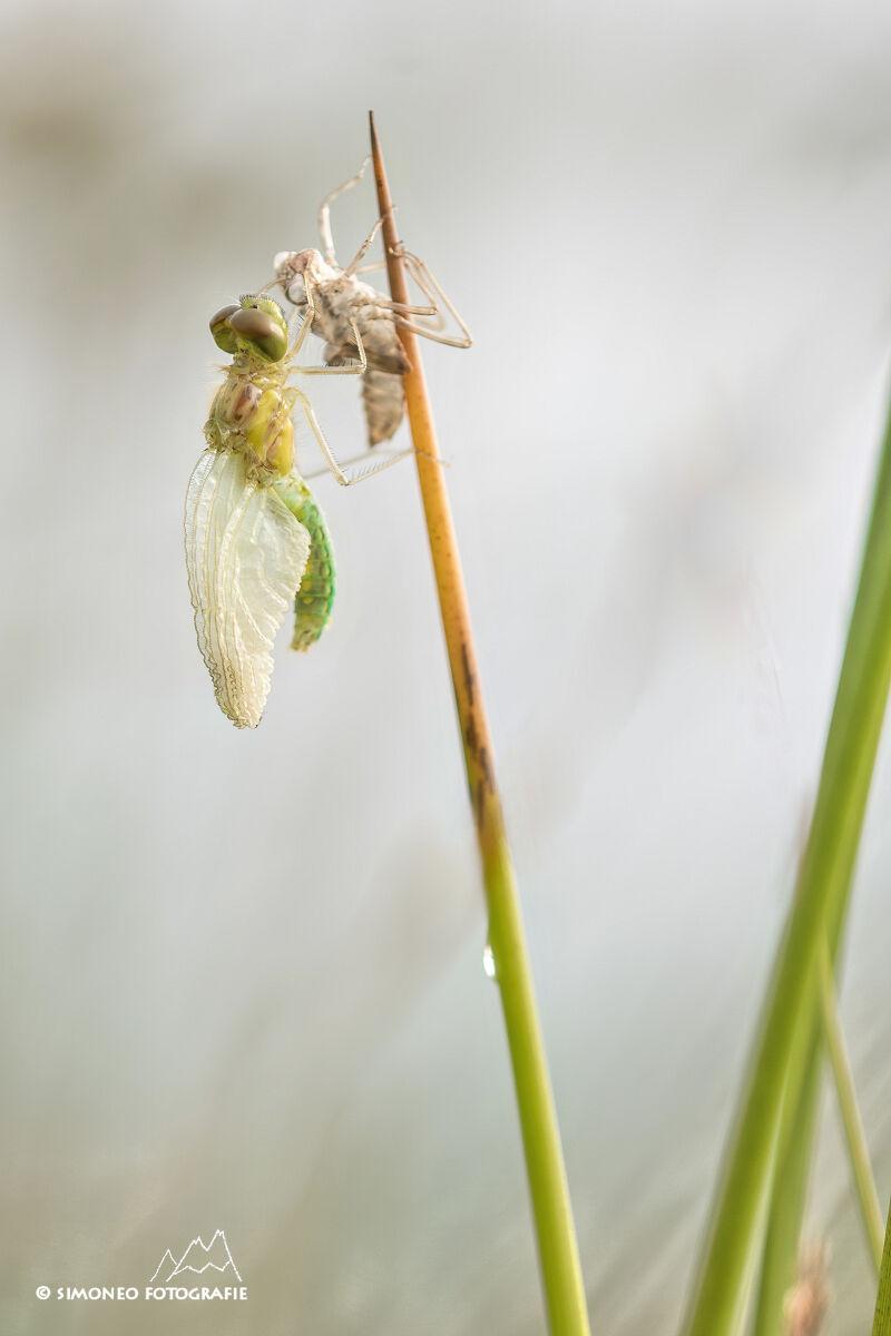 Van monstertje tot prachtige libelle: zwarte heidelibel