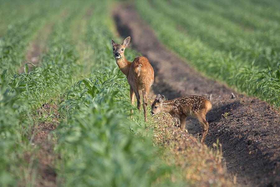 Bambi en mama