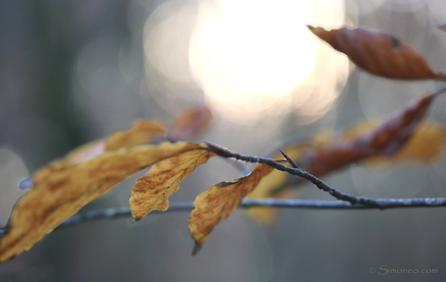 Autumn: beechleaves