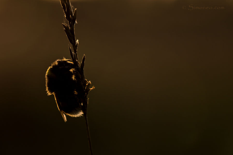 Bumblebee in first morninglight
