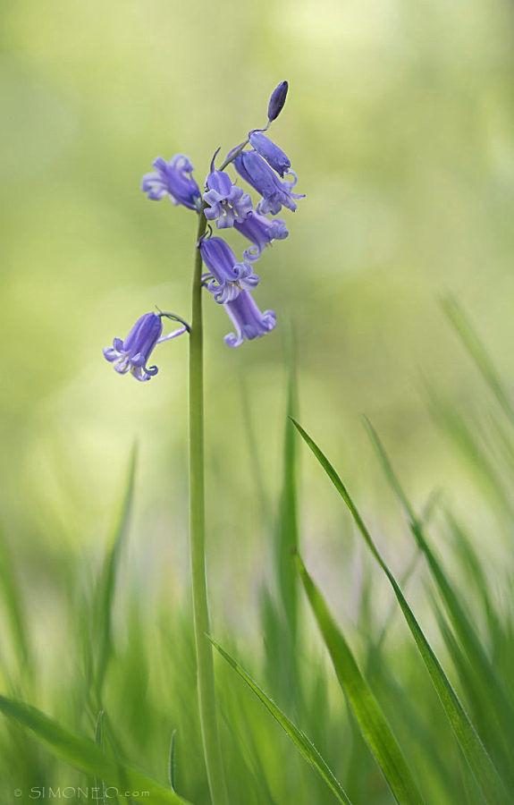 Bluebells (wilde hyacint)/hyacinta non-scripta