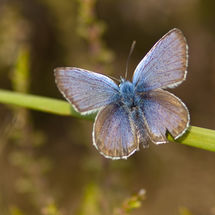 Silver studded blue.