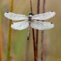 Black meadowhwk (sympetrum danae)