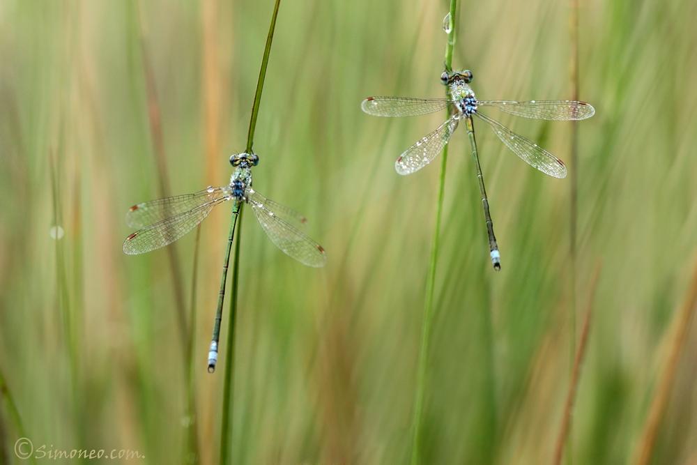 Small emerald damsels (lestes virens)