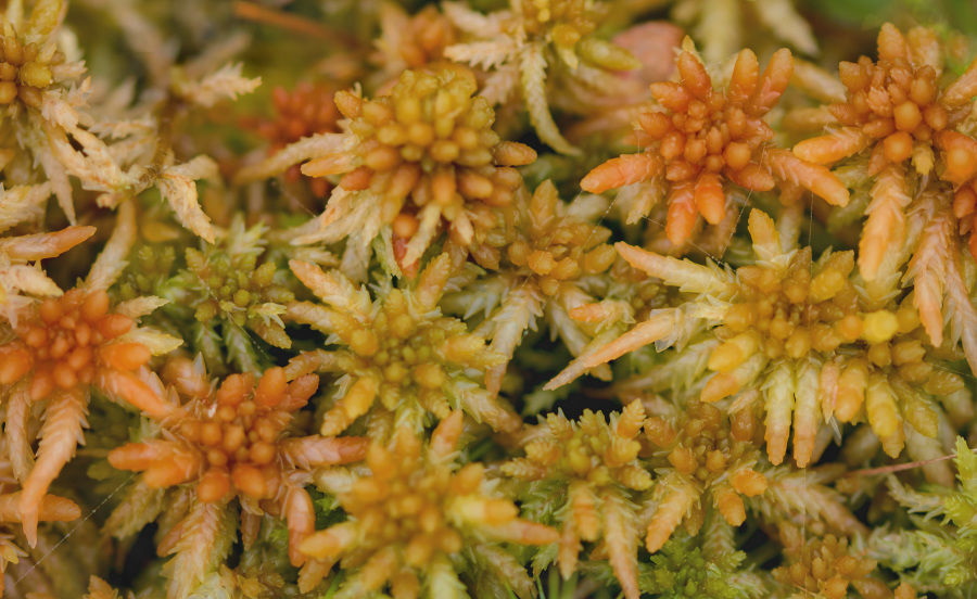 Veenmos (spagnum denticulatum)
