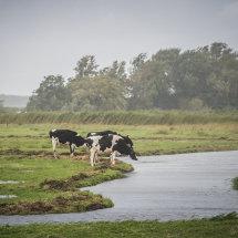 koeien in de reg, uitdam, waterlanden
