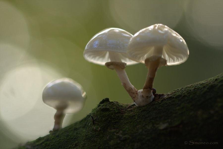 Porcelain fungi/porseleinzwammen