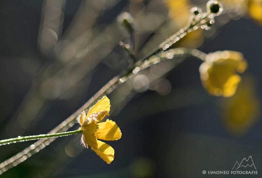 first light - boterbloemen