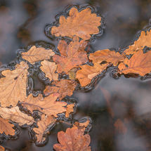 Herfststilleven met eikenbladeren