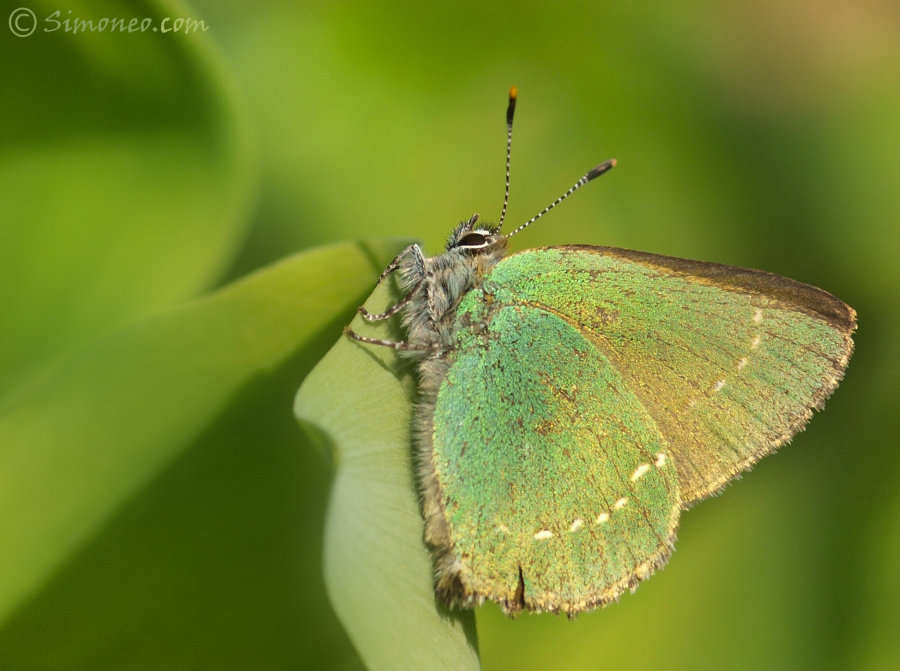 Green hairstreak (callophrys rubi/groentje)