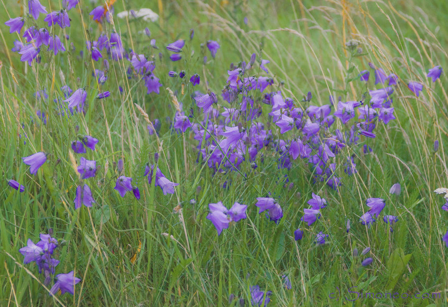 The colour purple: harebells