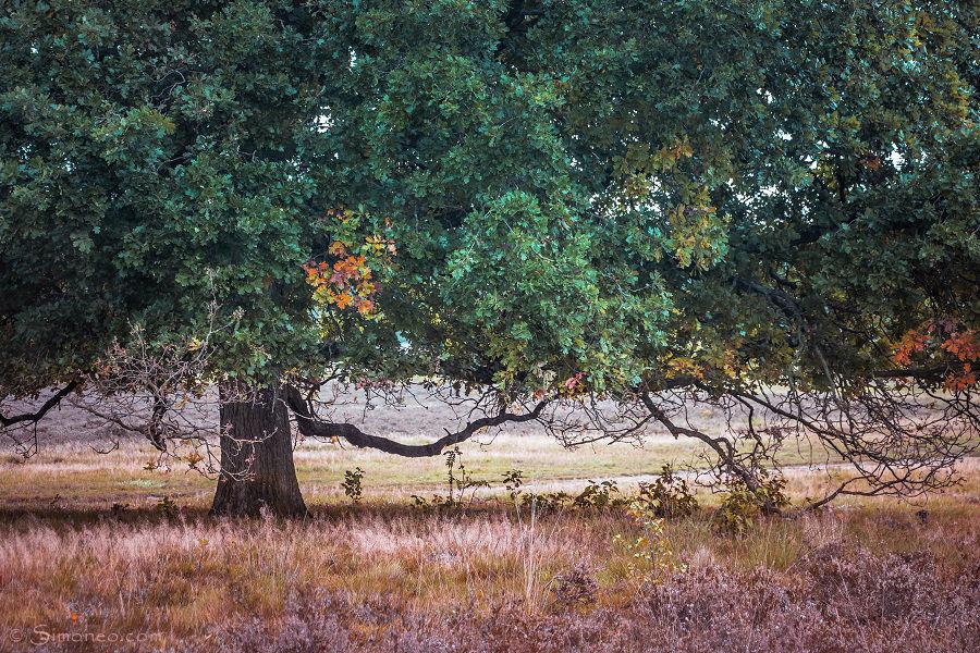 Old oaktree on the heath