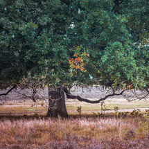 Old oaktree on the heath