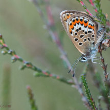 Silver-studded blue, female