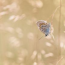 Heideblauwtje man (plebejus argus/silver-studded blue