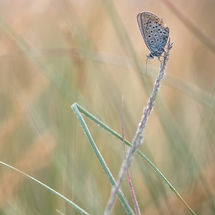Heideblauwtje man (plebejus argus)