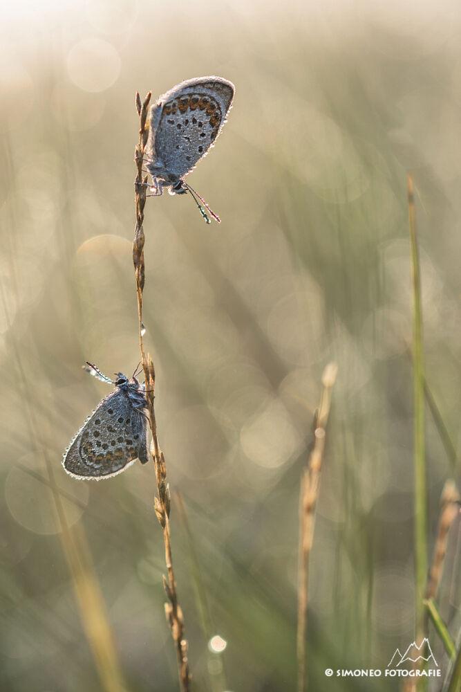 mannetjes van het heideblauwtje