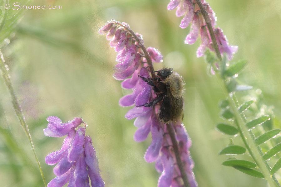 Bumblebee in bird vetch