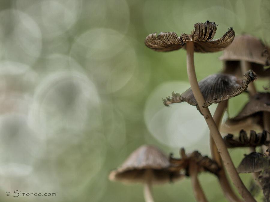 hazenpootjes (coprinopsis lagopus)