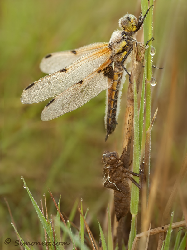 Newborn Four-spotted Chaser