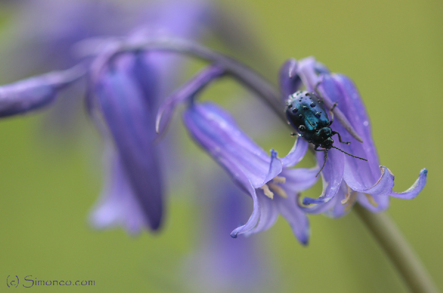 Blue on blue. Angelastica alni