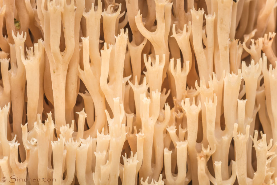 Fraaie koraalzwam (<em>ramaria formosa</em>/pink coral fungus)