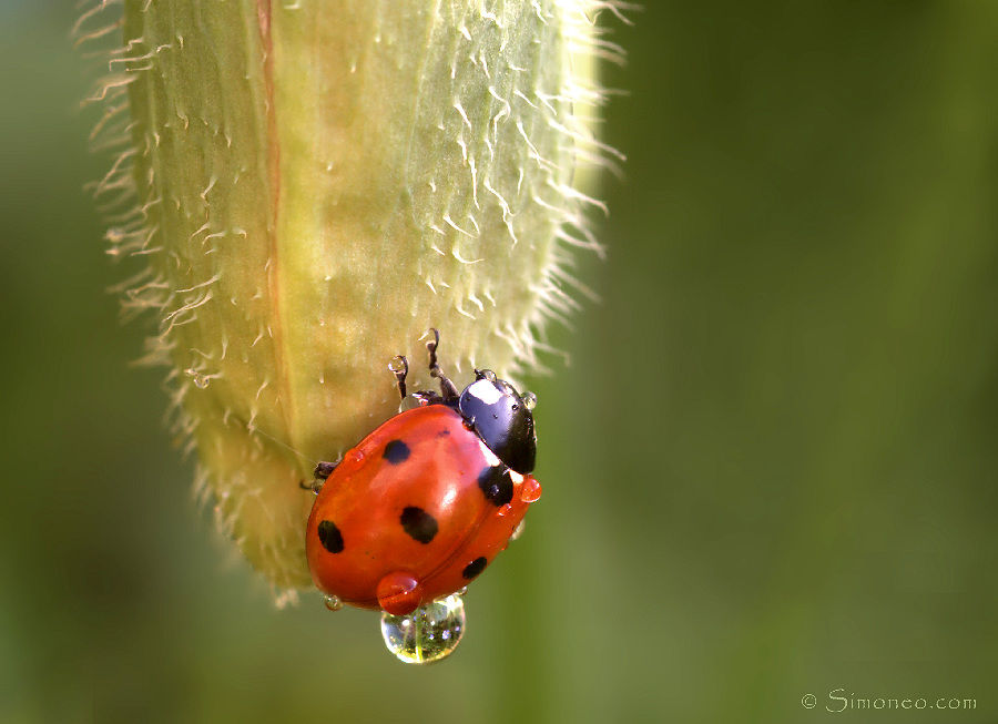 After the rain. Ladybird with droplet.