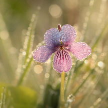 Marsh violet in dew