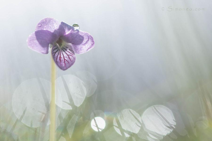 Moerasviooltje (viola palustris) in tegenlicht
