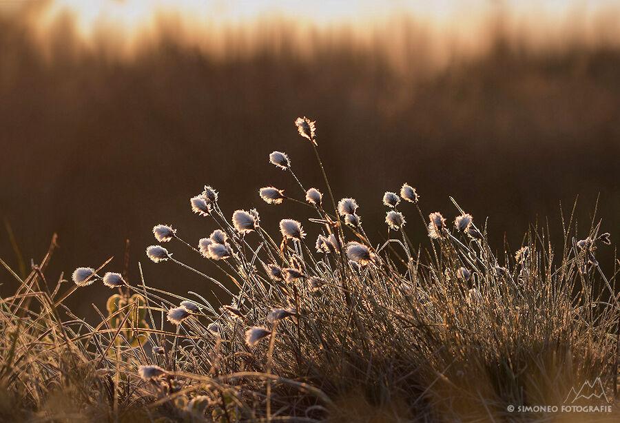 Wollegras in het gouden morgenlicht