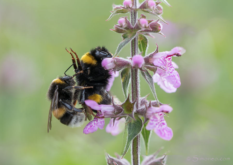 Mating bumblebees on marsh woundwort