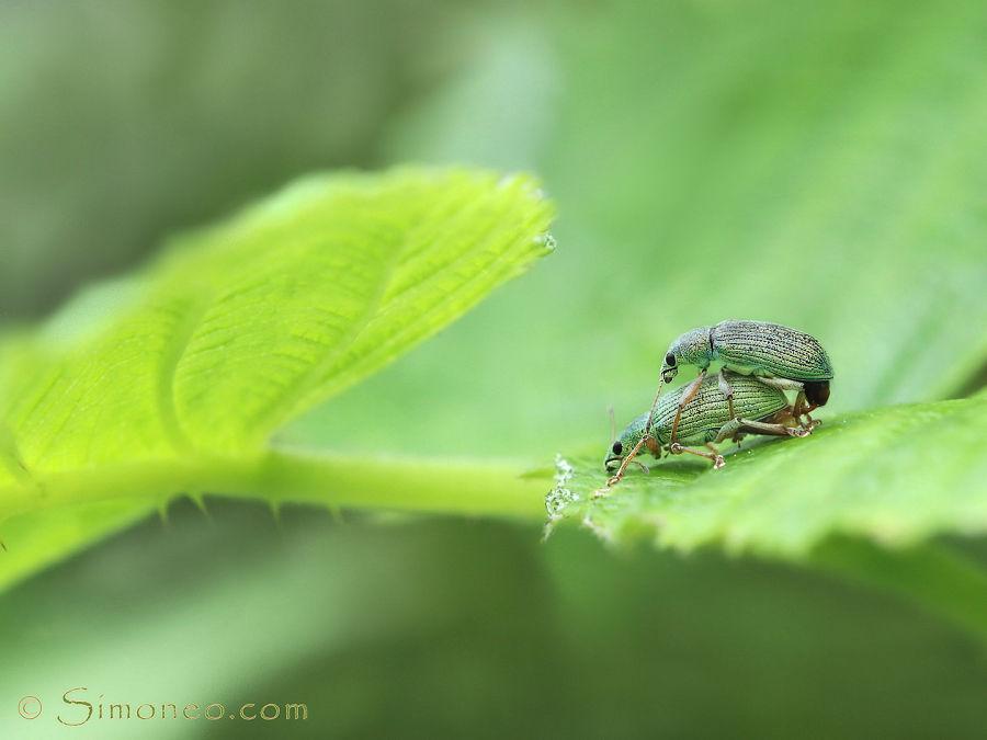 All green. phyllobius argentatus