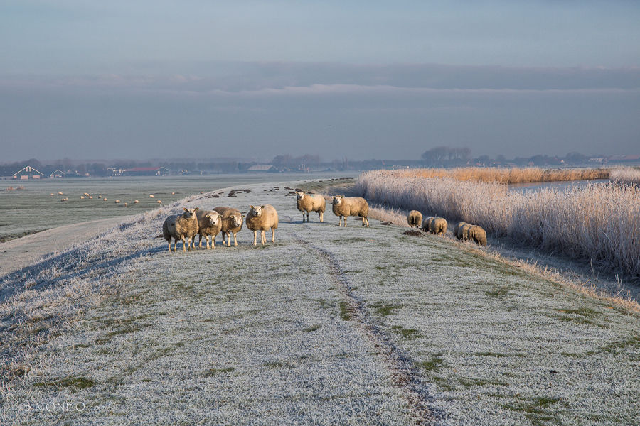 Winter en schapen
