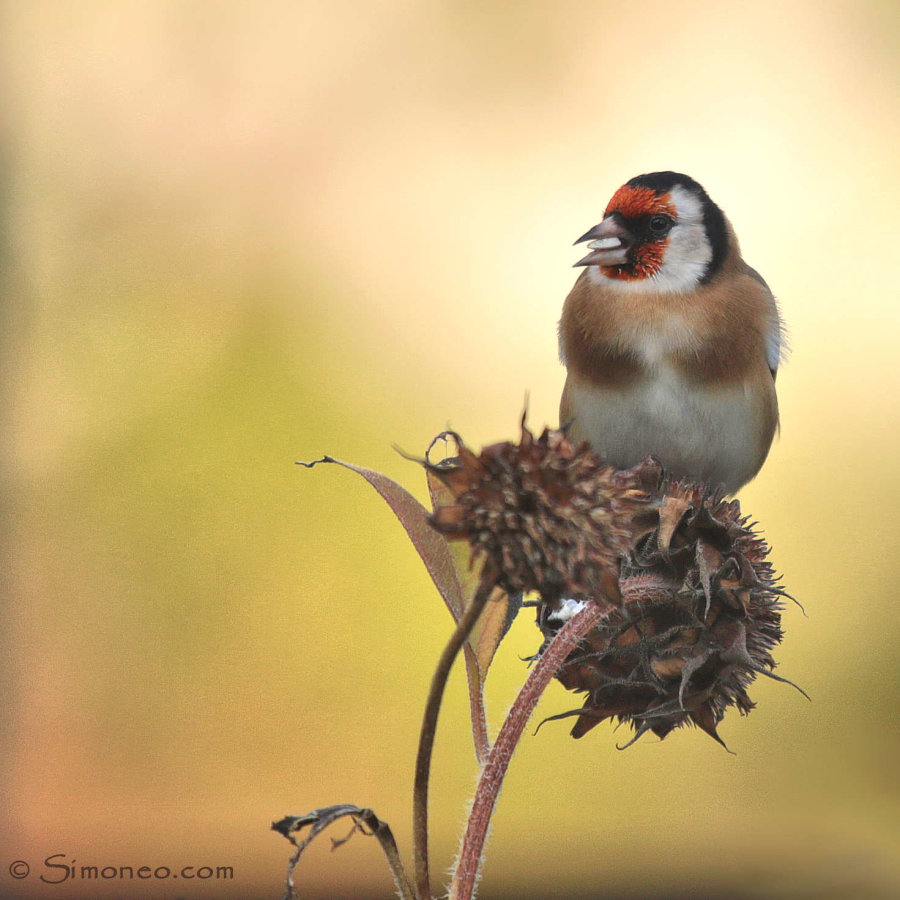 Goldfinch on an old sunflower
