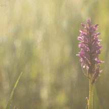 Western marsh orchid at dawn