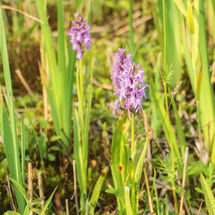 western marsh orchids